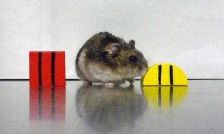 Stanford Biologists Explore Link Between Memory Deficit, Misfiring Circadian Clock