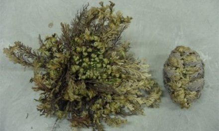 Nigeria: Resurrection Plant Improves Sleep Quality in Cancer Patients