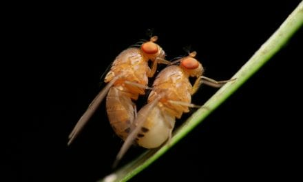 Sleep Deprivation Impairs Mating Success in Flies