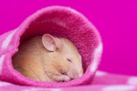 Melatonin in Mice: There's More to This Hormone Than Sleep
