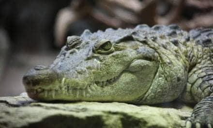 Crocodiles Sleep with One Eye Open