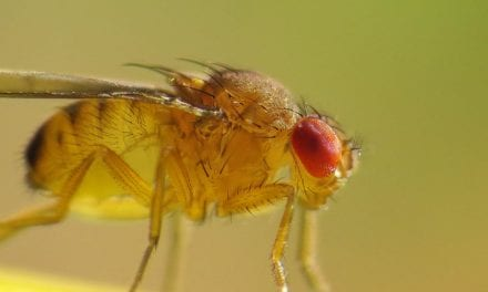 'You Are Getting Sleepy,' Said The Scientist To The Fruit Fly