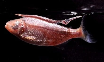 Cavefish Provides Insight on What Drives Sleeping Patterns