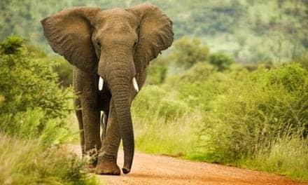 Fitness Trackers Used to Study Elephants Sleep Activity