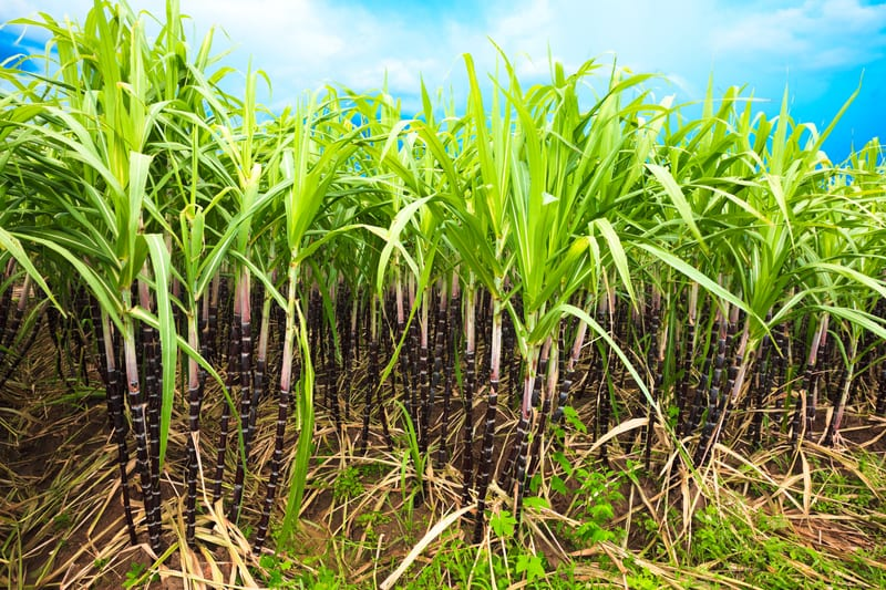 In Mice, Sugarcane Active Component Restores Stress-affected Sleep