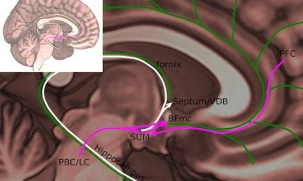Additional Wake-promoting Node Pinpointed in Brain
