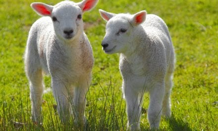 Sheep Study Links Mom's Shift Work to Reduced Fetal Growth