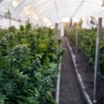 Primary Endpoints Met for Medicinal Cannabis Trial for Insomnia