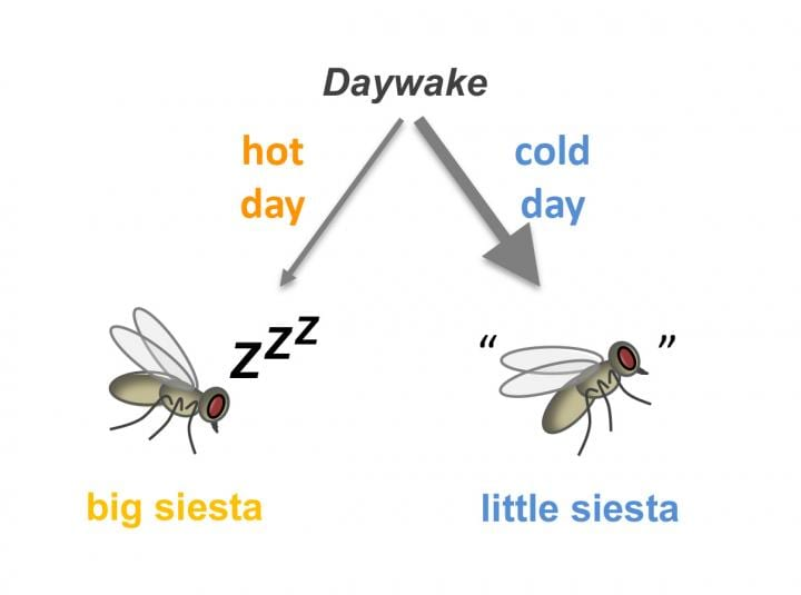 Gene Discovery Sheds Light on How Daytime Naps and Wakefulness Contribute to Survival