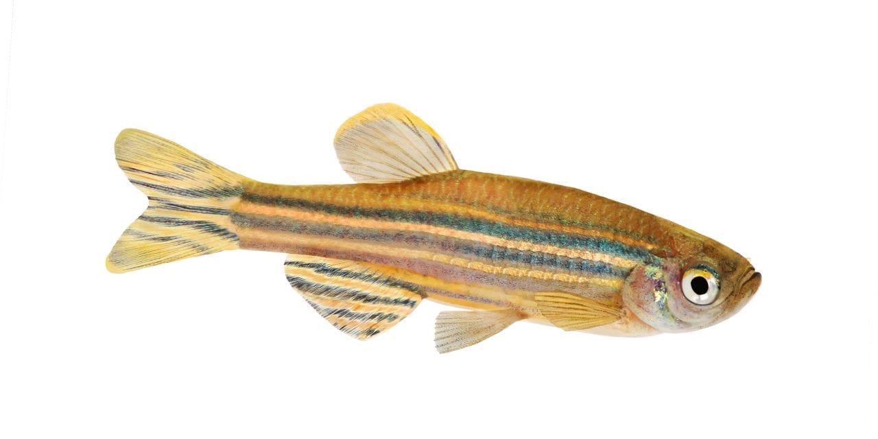 Zebrafish Study Sheds Light on How Sleep Is Regulated in the Brain