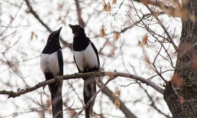 Light Pollution Keeps Magpies & Pigeons Awake at Night