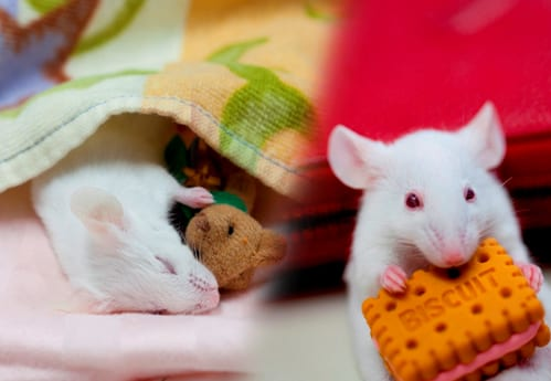 Researchers ID Neurons in Mouse Brainstem that Suppress Movement During REM Sleep. It Could Be a Treatment Target for RBD, Narcolepsy, & Cataplexy.