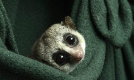 Duke Lemur Center Works to Understand Hibernation
